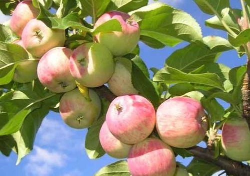 Как правильно выбирать и сажать яблони