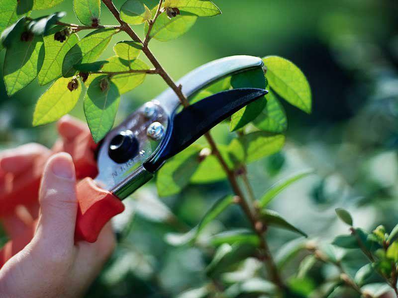 Как делать обрезку деревьев — и нужно ли вообще? (видео)