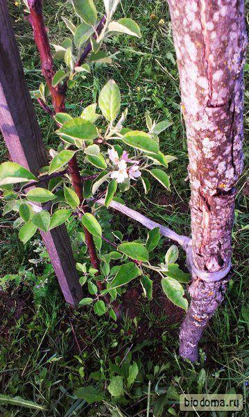 Мой сад: Жуки поели, зайцы погрызли — и это только начало…