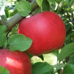 Ауксис - сорт яблони