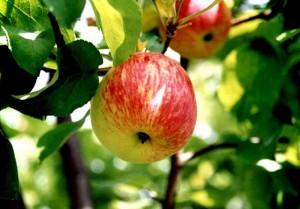 Грушовка - сорт яблони