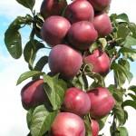 Имант - сорт яблони