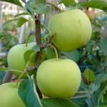 Каштеля - сорт яблони