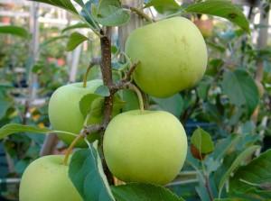 Коштеля - сорт яблони