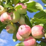 Слава победителям - сорт яблони