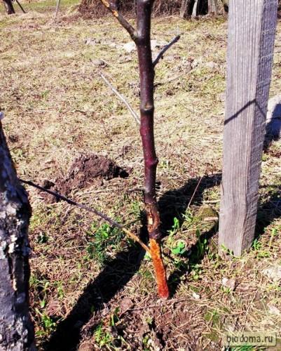 Зайцы погрызли яблоньку внизу
