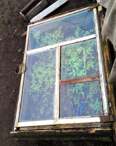 Помидоры выращивают под стеклом
