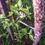 Молодая яблонька расцвела - первые цветки