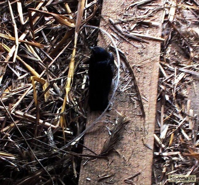 Птенец ласточки выпрыгнул из гнезда
