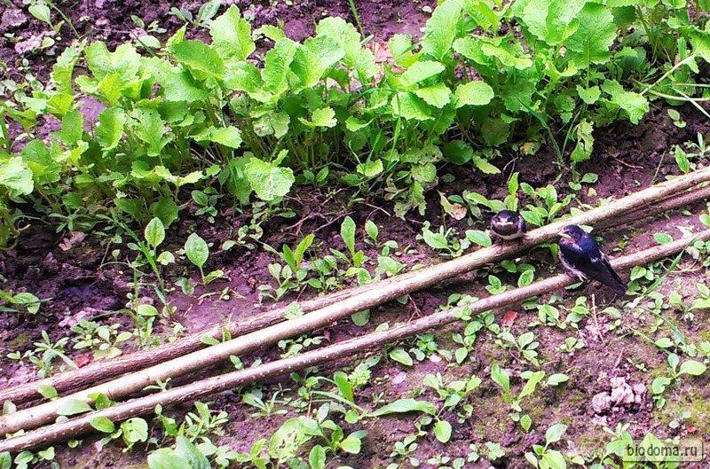 Два птенца ласточки сидят на земле