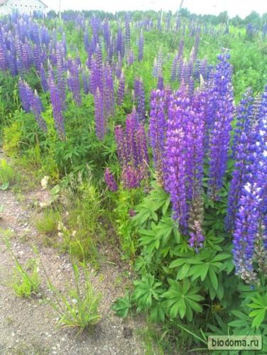 Гигантские синие цветы