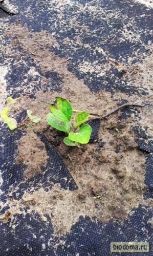 Баклажан расправил листья