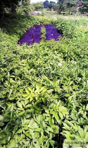 """А это """"экспериментальная грядка"""" через пару месяцев - положил спанбонд просто на землю, где росло огромное количество сорняков. Получилось то, что видите на фото - сорняки выросли только вокруг, зато какие!))"""