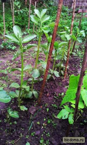 Бобы растут... Кстати, фасоли деревяшки не нужны, а бобам очень даже пригодились...