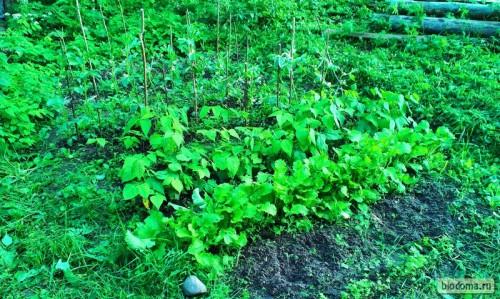 Так взошла репка, которую посеяли, не жалея семян, и фасоль за ней.
