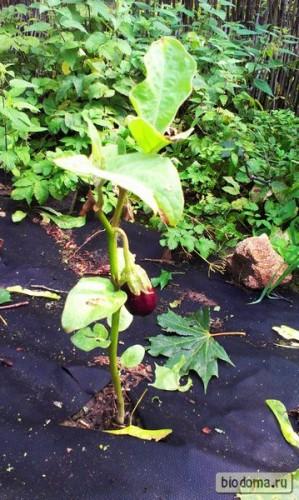 Растущий баклажан с плодом