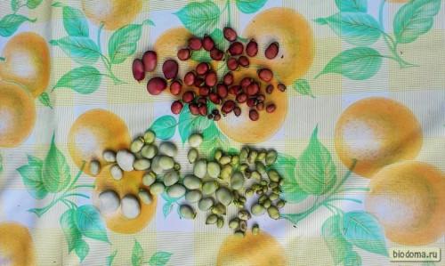 Очищенные бобы сушатся на столе - всего горстка осталась, как видите, но на пару супов хватит)