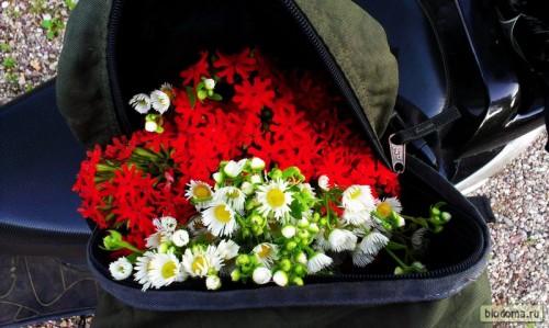 Полевые цветы в рюкзаке