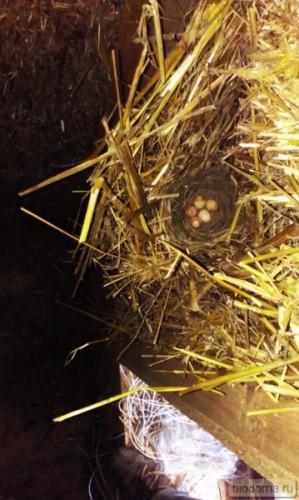 Птичка свила гнездо и отложила яйца в соломенном доме