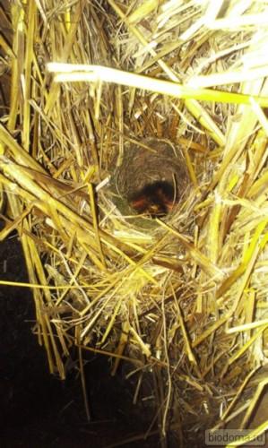 Птенцы вылупились в соломенном доме
