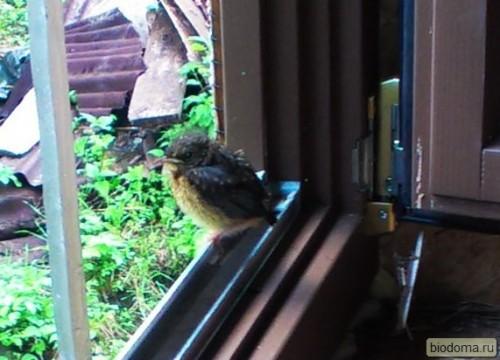 Крупнее немного. Может, кто-то знает, что это за птичка?