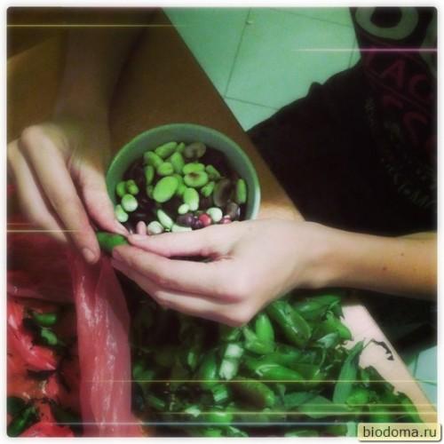 Урожай бобов на грядках соломенного дома