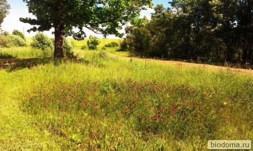 поле клевера летом