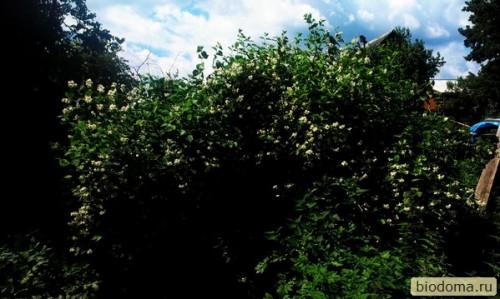 большой куст черемухи весной