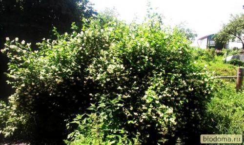 куст черемухи расцвел весной