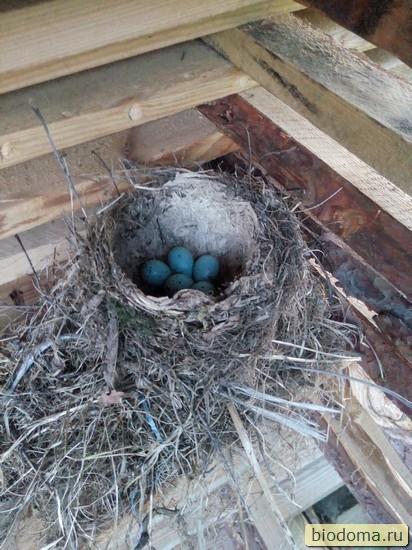 Голубые яйца дрозда в гнезде