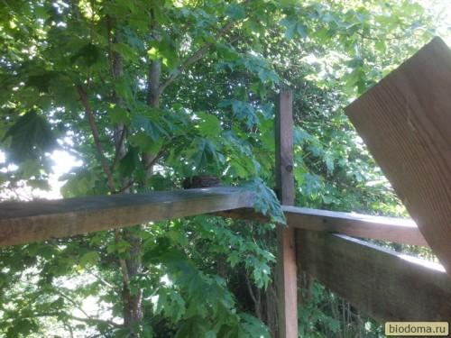 Гнездо дрозда на строительных лесах